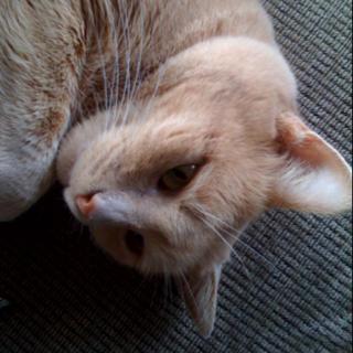 Lazy cat